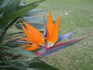 bird of paradise, kauai, kauai flowers